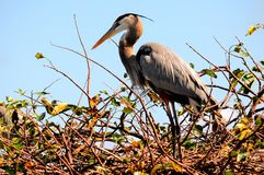 Great Blue Heron in nest in wetlands in Florida Stock Image