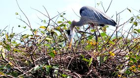 Great Blue Heron in nest in wetlands in South Florida Royalty Free Stock Photo