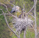 Great Blue Heron Nest with Young Royalty Free Stock Image