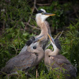 Great Blue Heron Nest. Young great blue herons on nest Stock Images