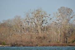 Great Blue Heron Nesting royalty free stock photos