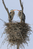 Great Blue Heron Nesting Pair Stock Photo