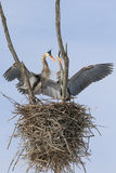 Great Blue Heron Nesting Pair Stock Photography