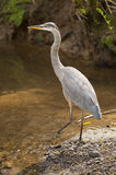 Great Blue Heron of North America. A great blue heron steps into a pool stock image