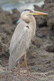 Great Blue Heron on an Ocean Shore Stock Image