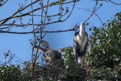 Great blue heron with offspring on nest royalty free stock photography
