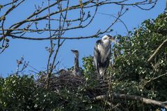 Great blue heron with offspring on nest stock photos