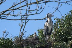 Great blue heron with offspring on nest royalty free stock image