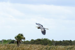 Great Blue Heron over marsh Stock Photography