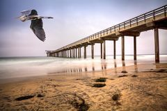 Great blue heron over an Overcast cloudy day over Scripps pier B. Each in La Jolla, California at the end of Summer Royalty Free Stock Image