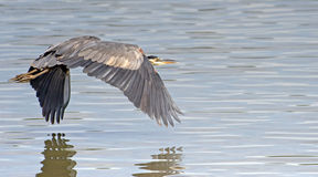 Great Blue Heron over water Stock Photography