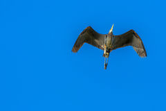 Great Blue Heron Overhead. Great Blue Heron flying overhead against a clear blue sky Stock Images