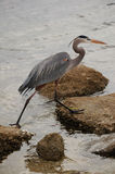 Great Blue Heron on the oyster beds Stock Image