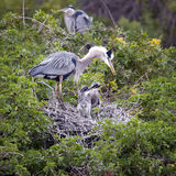 Great Blue Heron pair with babies Stock Photography