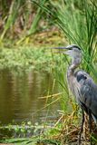 Great Blue Heron Panting royalty free stock photo