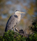 Great blue heron parent, protects chick from preditors Stock Photo
