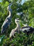 Great Blue Heron parent and two young Royalty Free Stock Photography