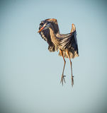 Great blue heron pauses in mid air Royalty Free Stock Image