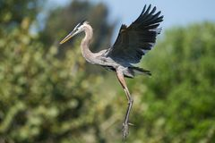 A Great Blue Heron in PA royalty free stock photography