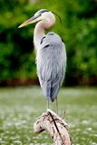 Great Blue Heron Perched on a Branch in Malden Park at Windsor, Ontario Canada Royalty Free Stock Photo