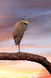 Great Blue Heron Perched on a Branch at Sunset Royalty Free Stock Photography