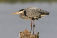 Great Blue Heron Perched on a Dead Palm Stump - Florida Royalty Free Stock Images