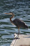 Great Blue Heron perched on a dock near Ventura, CA. royalty free stock images