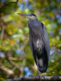 Great Blue Heron Perched Royalty Free Stock Photos