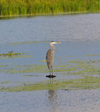 Great Blue Heron Perched On La. A Great Blue Heron Perched On A Lake Stock Photography