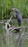 Great Blue Heron Perched on Log stock images