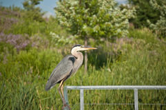 Great Blue Heron Perched on Metal Handrail Stock Photo