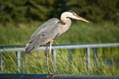 Great Blue Heron Perched on Metal Handrail. A Great Blue Heron perches on a metal handrail with green foliage in the background Royalty Free Stock Image