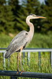 Great Blue Heron Perched on Metal Handrail Royalty Free Stock Photo