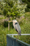 Great Blue Heron Perched on Metal Handrail Royalty Free Stock Photography