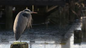 Heron Perched zoom 4K UHD stock video footage