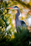 Great Blue Heron Perched Stock Photo