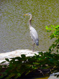 Great Blue Heron. A Great Blue Heron perched on a rock by a lake royalty free stock image