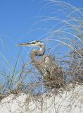 Great Blue Heron Perched on the Sand Dune Peering Through the Se Stock Photos