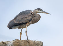 Great Blue Heron Perched Royalty Free Stock Photography