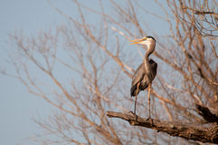 Great Blue Heron. Perched in a tree royalty free stock photo
