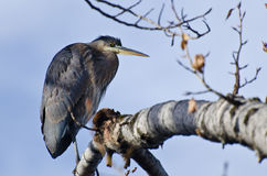 Great Blue Heron Perched in a Tree Royalty Free Stock Photos