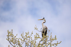 Great blue Heron. A Great blue Heron perched in a tree Stock Photo