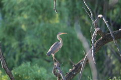 Great Blue Heron. Perched in a tree against green foliage background in bright sunlight Stock Image