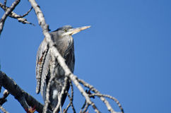 Great Blue Heron Perched in a Tree Stock Images