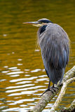 The Great Blue Heron perched on a tree branch royalty free stock photography