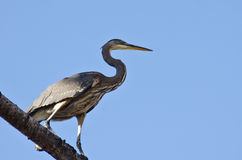 Great Blue Heron Perched in a Tree Stock Photography
