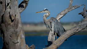 Great Blue Heron Perched on Tree Limb royalty free stock photography