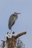 Great Blue Heron Perched in Tree Stock Photography