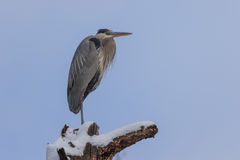 Great Blue Heron Perched Stock Photography