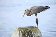 Great Blue Heron Perched on a Water Outflow Pipe Royalty Free Stock Photography
